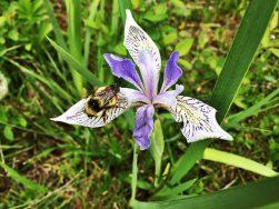 Iris bee