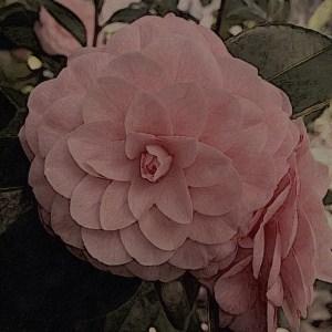 Camellia geometry