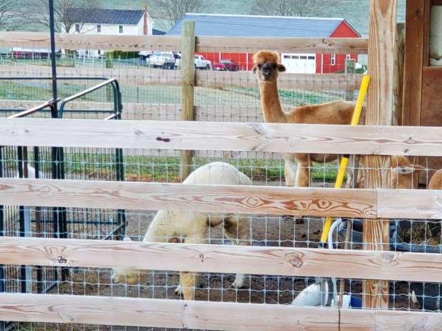 Alpaca neighbors