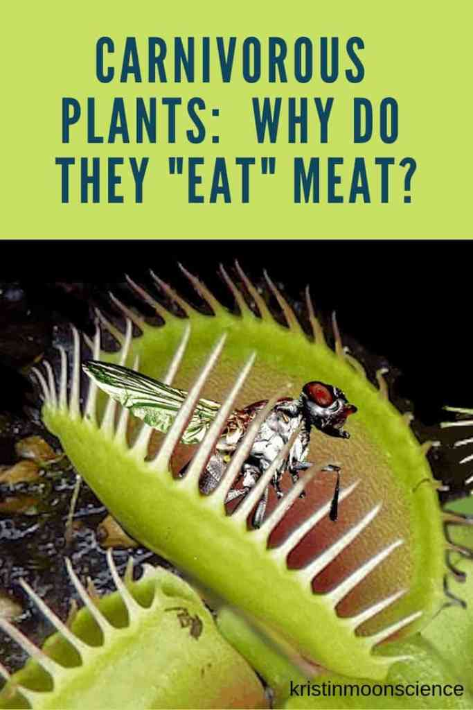 """A common misconception about carnivorous plants is that they """"eat"""" insects and other small animals for the same reason you or I eat food–as a source of energy. That's actually not true. So if carnivorous plants don't ingest insects for food, why do they do it? #plants #botany #plantscience #venusflytrap #carnivorous plants #themoreyouknow #science"""