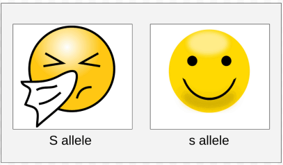 We will assign a capital S to denote the dominant allele responsible for sun sneezing.  The lowercase s will designate the recessive allele for this gene.