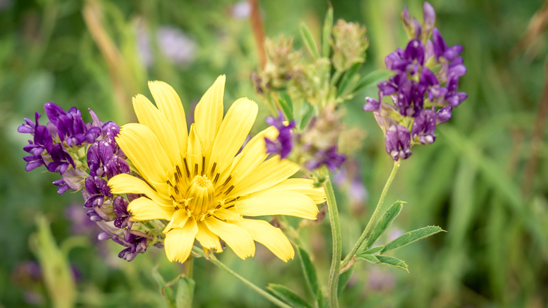 Spring flowers - Alfalfa and...