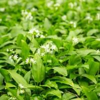 Nu blommar RAMSLÖKEN och vad skall man göra med den?