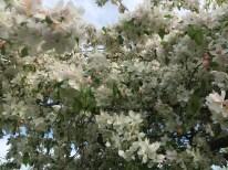 Image: White Crabapple in bloom