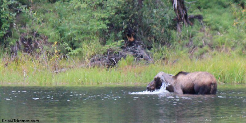 moose-in-lake-fb