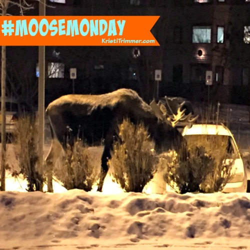 moose-monday-at-apt-1