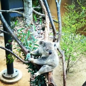 4-12-14 SD Zoo Koala Bear