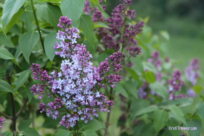 5-30-14 Smithers Lilacs