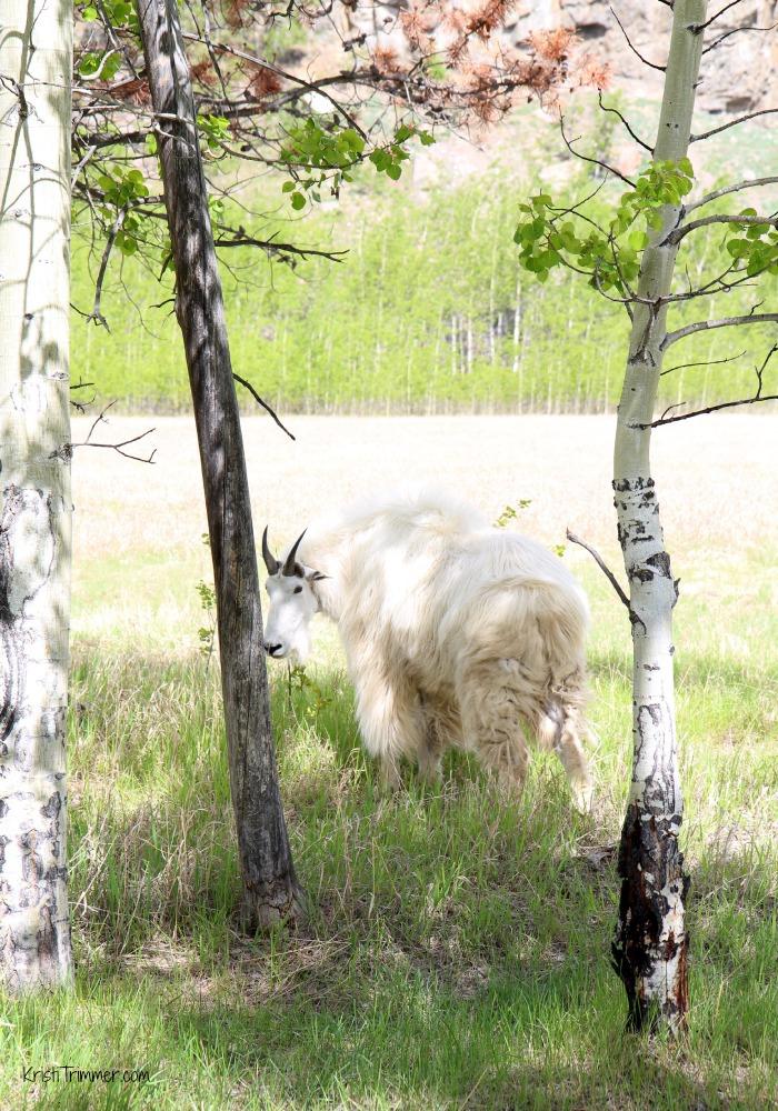 6-4-14 Mountain Goat