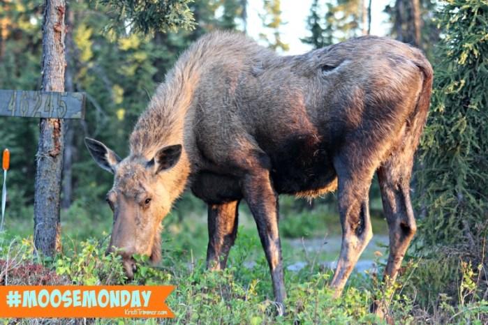Moose Monday - Salmon Catcher
