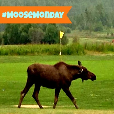 Moose Monday – Golf Time!
