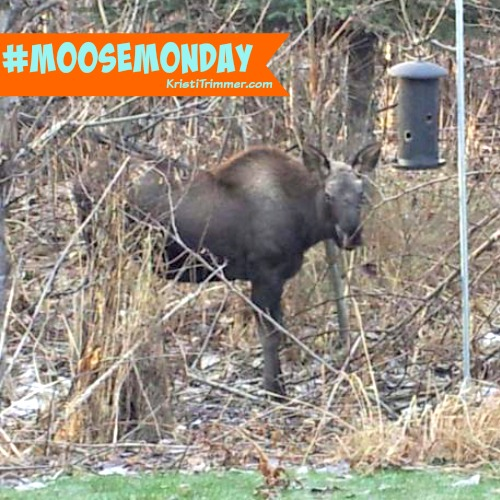Baby Moose in Backyard