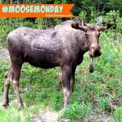 Moose Monday – Good Morning!
