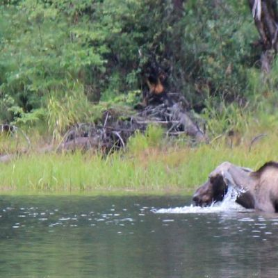 Moose Monday: In a Lake!