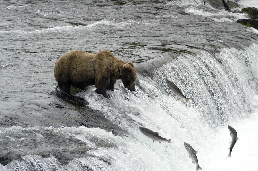 Brown Bears in Alaska fishing