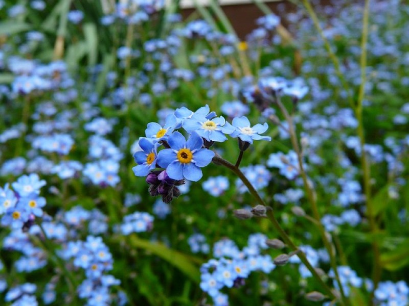 The Alaska State Flower is the Forget Me Not, which grows well in a cool climate. #alaska #forgetmenot #flowers