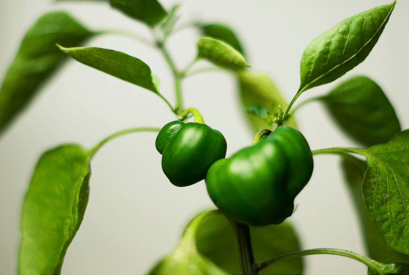 Bell Pepper Plants Growing in the Garden #pepperplants #growpeppers #gardeningtips