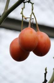 Vruchten van boomtomaat, rijpen af in december (vorstvrij overwinterd in de serre).