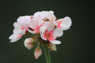 Laatste bloem van de overwinterde geranium.