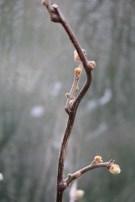 de knoppen van de kiwi (links) zijn net opengesprongen