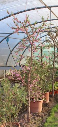 de perzik is steevast de eerste bloeier in het voorjaar