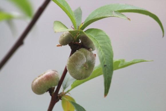 mijn eerste platte perziken