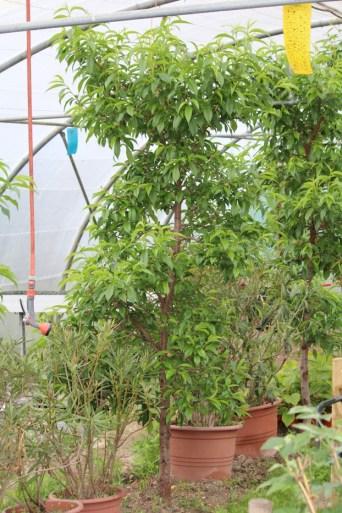 na één maand is de perzikboom uitgebloeid en staat al volledige in blad met perziken ter grootte van grote hazelnoot