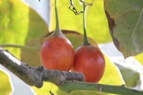 25-12-2013: de vruchten hangen in trossen van 2 tot 6 vruchten