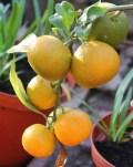 11-01-2014: een overbeladen tak manderijnen, deze hebben een andere en fijner aroma dan de commerciële soorten