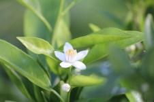 11-01-2014: het leukst aan de citrussen vind ik de fantastisch geurende bloesems