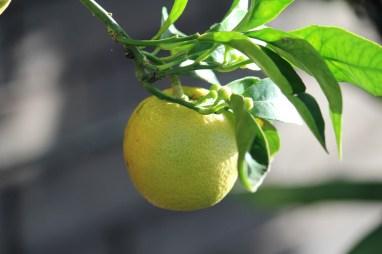 11-01-2014: appelsienen is vaak wat moeilijker, temeer ze door de koude (?) een dikke schil krijgen.