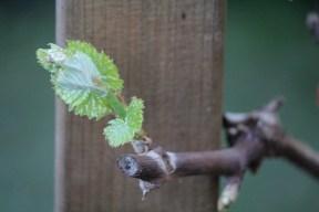 23-03-2014: de Royal-druif is wakker en geniet van de voorjaarswarmte