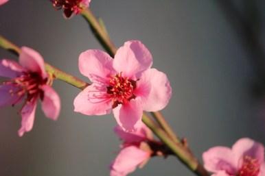 23-03-2014: delicate roze perzikbloesems overladen de boom (in de serre)