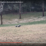 Mount Barker Magpies: an Attention Restoration Meditation (2 minutes)