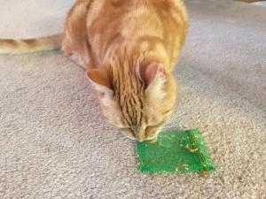 Sir Galahad of Kitten being impy
