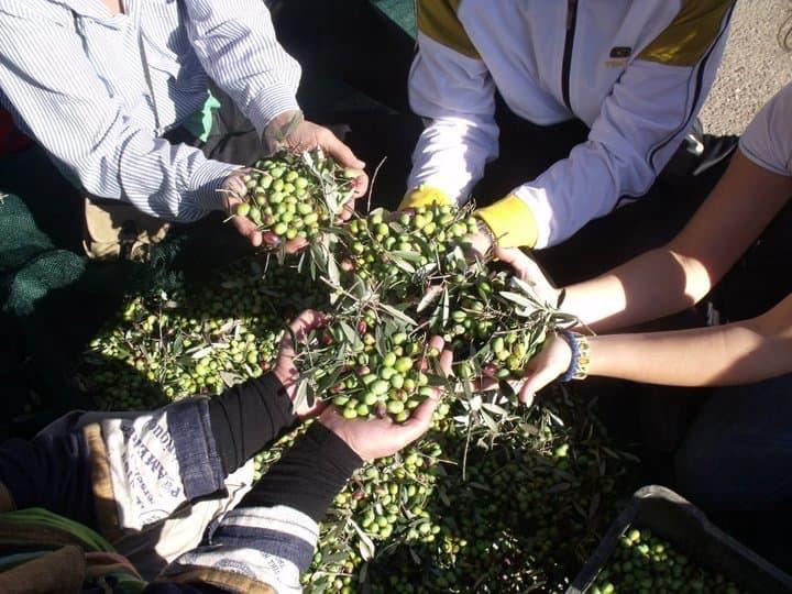 Közös oliva szüret