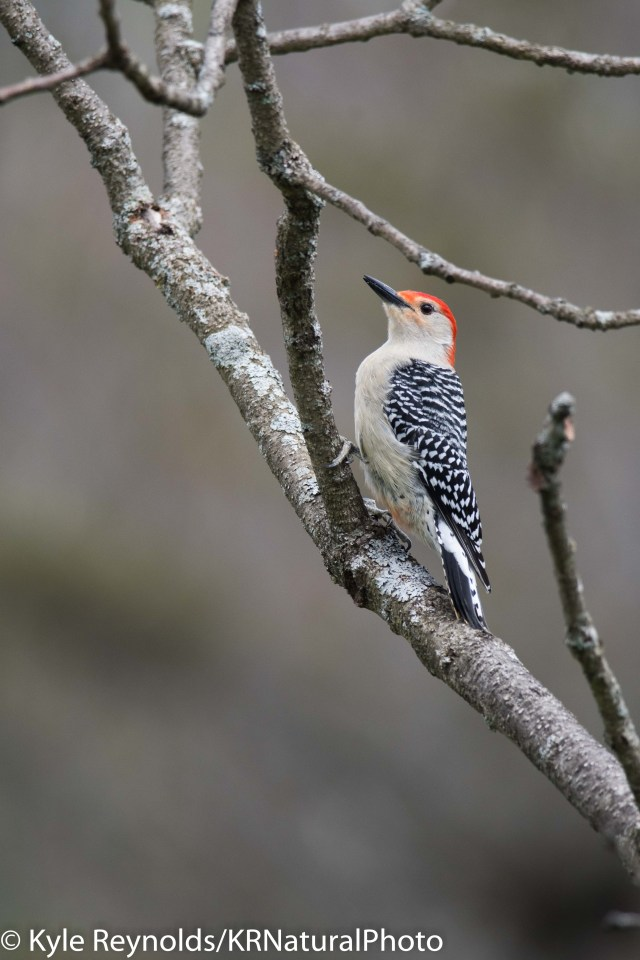 New York Woodpecker. Bird Watching.