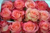 Rosas de Exportación