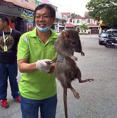 Самая большая крыса в мире: фото огромных представителей ...