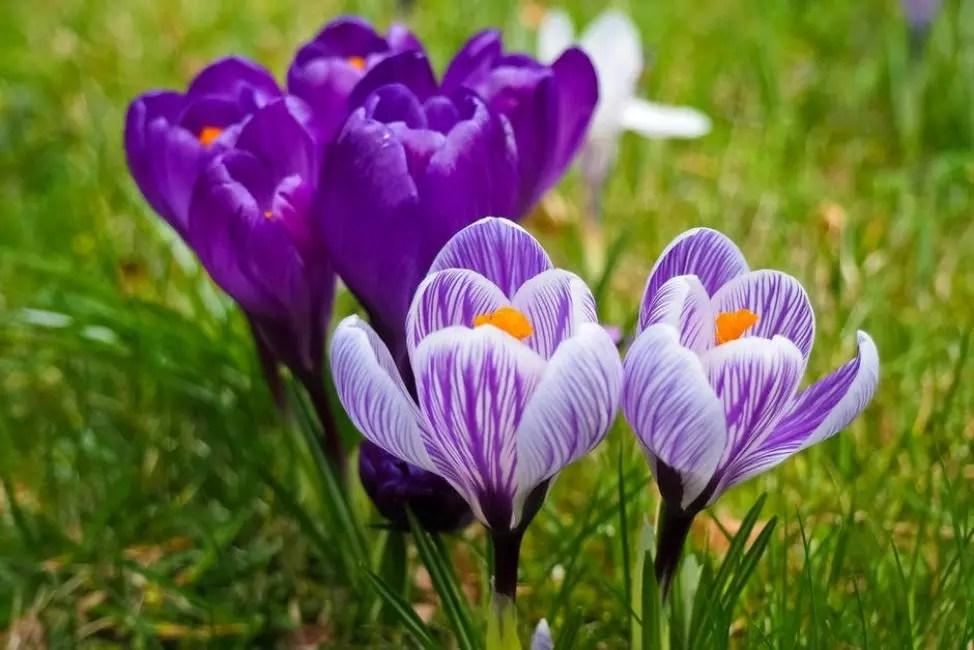 Раннецветущие крокусы занимают почётное место на альпийских горках