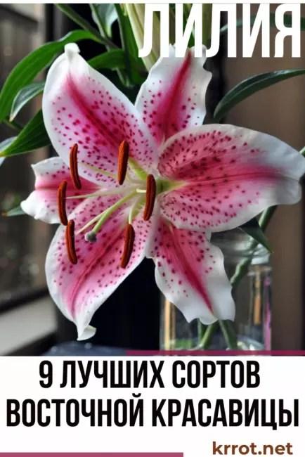 лилия фото и описание