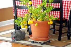 Лимон: Сипаттама, күтім, сүйек өсіру Үйде, дәрумені шырыны мен лимонад рецептері (фото және видео) + пікірлер