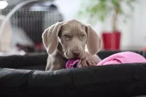 Lenhing for the Dog: Description of moments utama, arahan langkah demi langkah pembuatan dengan tangan mereka sendiri (140+ Foto & Video) + Ulasan