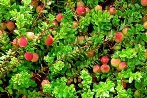 Cranberry Garden: Landing og omsorg, anbefalinger for voksende frø i landområdet, nyttige eiendommer, bruk av matlaging | + Vurderinger.