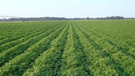Groundnut Farming Information