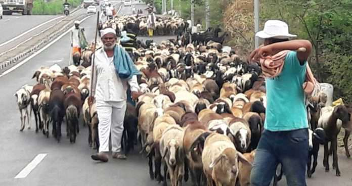 शेळी व मेंढ्यां