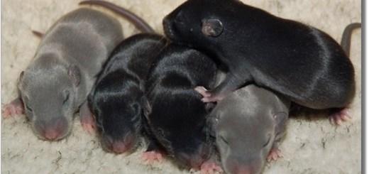 Голубые и черные крысята Дамбо