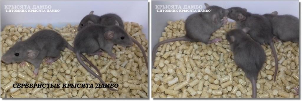 Фото крысят Дамбо окраса Серебро. Питомник Дамбо