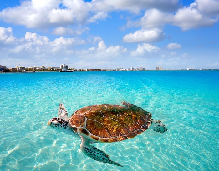 Cancun beach turtle photomount at Hotel Zone in Mexico