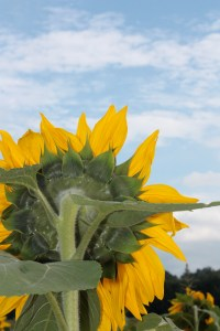 Sunflower VI | Nature Photography | KSAVAGER